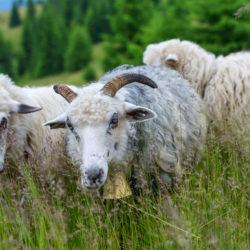 Le Covid-19 frappe lourdement la filière ovine