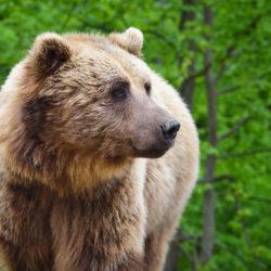 L'interruption des introductions d'ours dans les Pyrénées remise en cause ?